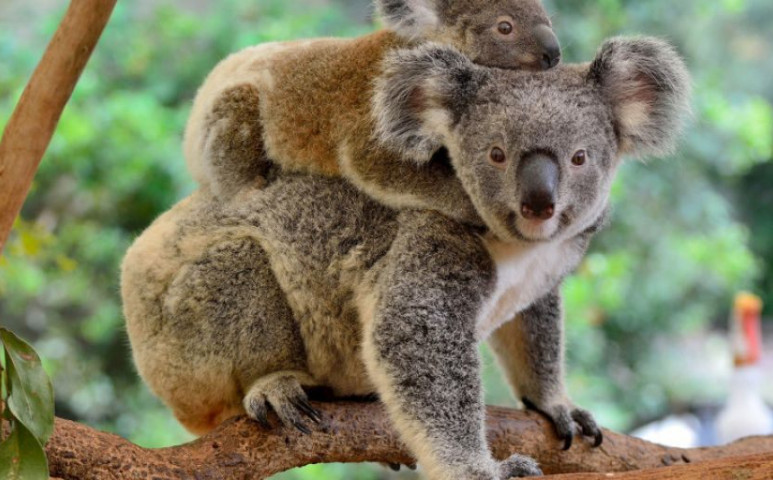 Búcsúzzunk el a koaláktól is