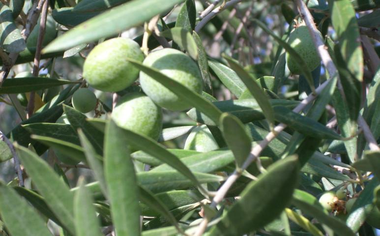 Amikor az olíva bogyó több ezer életbe kerül...