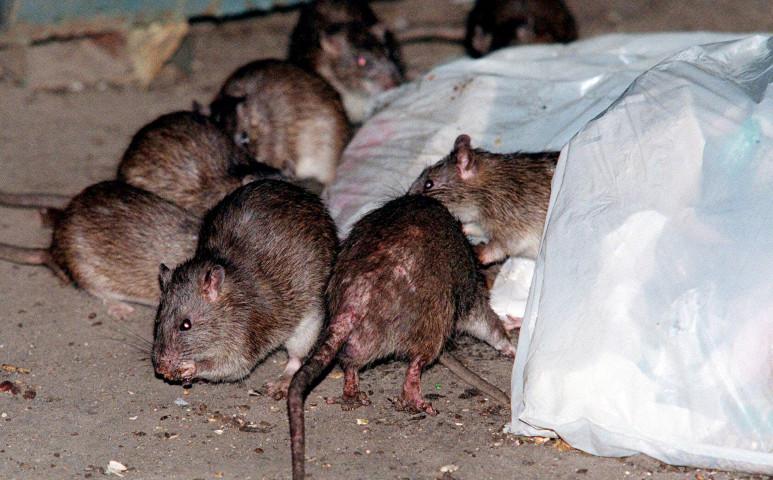 Így ér el minket a patkányapokalipszis