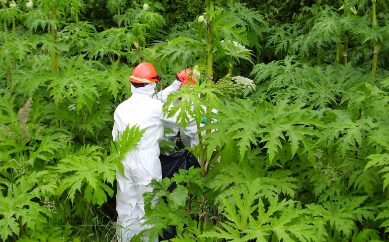 Komoly fegyverzetű növények inváziója van hazánkban is