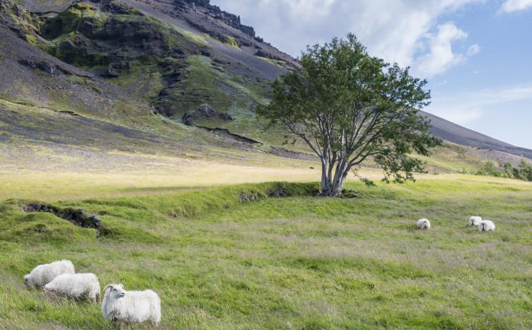 A vikingeknek ez az öröksége egyetlen Izlandinak sem kell