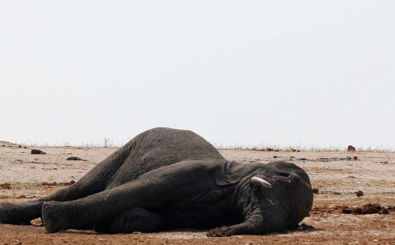 Tömegesen pusztulnak az elefántok az aszály miatt