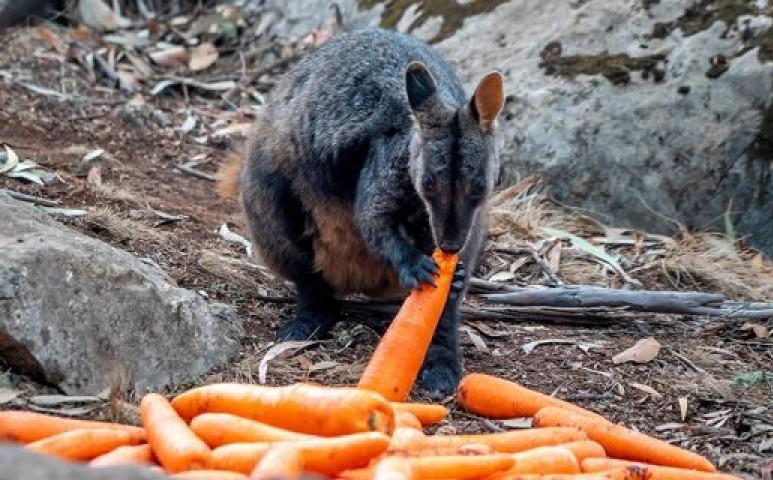 Élelmet juttatnak a vadvilágnak Ausztrália leégett területein