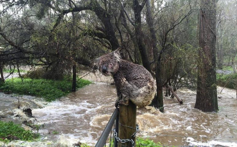 A tűz után a víz a gond Ausztráliában