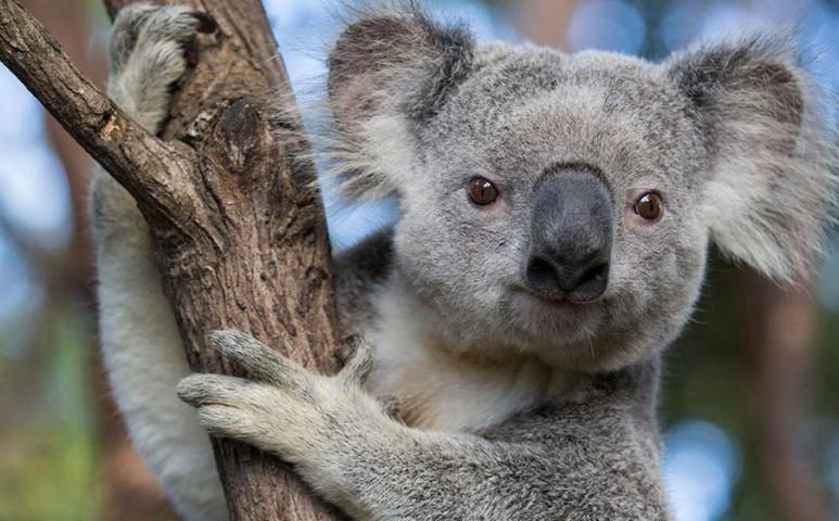 Nagyobb védelemre van szüksége a koaláknak!