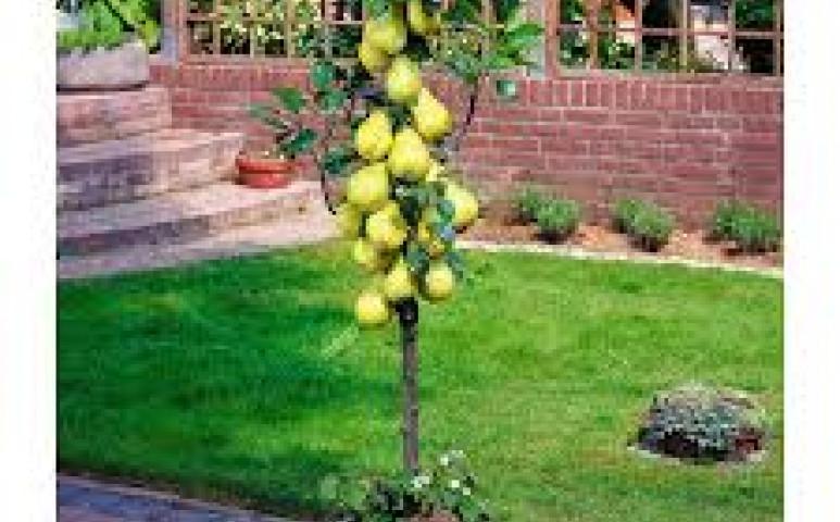 Gyümölcsfát a balkonra! Miért is ne?