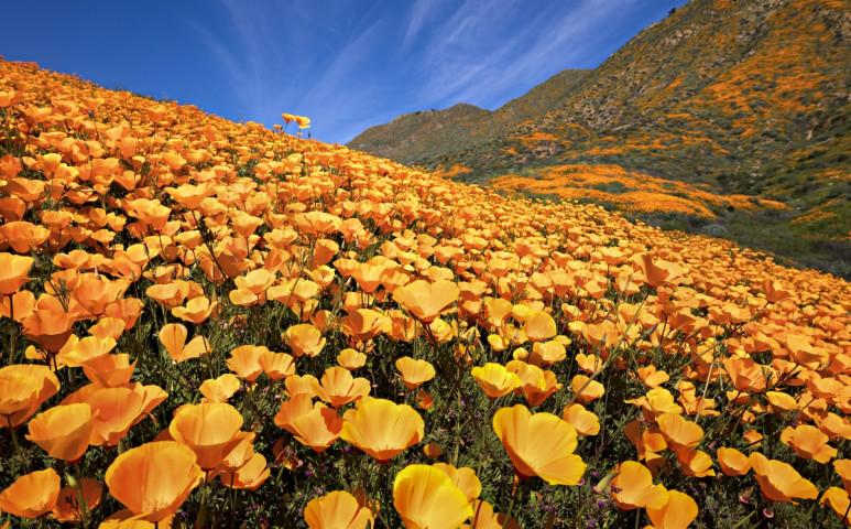 Virágba borult a Mojave sivatag