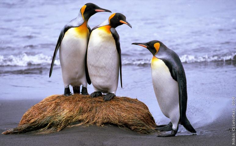 Gondokat okozhat a pingvinkaki