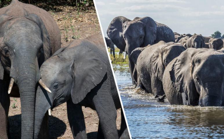 Tömegesen pusztulnak az elefántok Botswanában