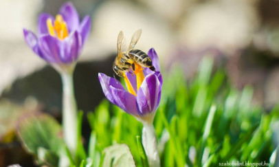 Az első virágok, az első méhek