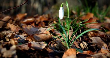 Az első hóvirág