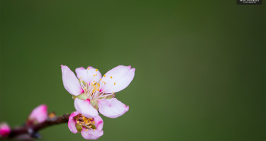 Rózsaszín szirmok