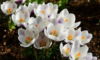 A tavasz hírnökei