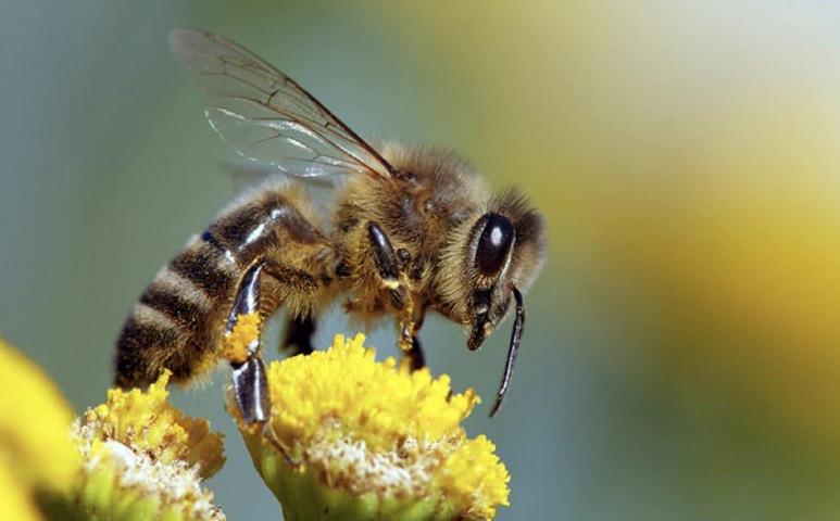 A koronavírus a méhek malmára hajtja a vizet?