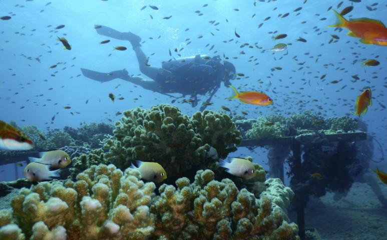 A Vörös-tenger koralljai fittyet hánynak a felmelegedésre