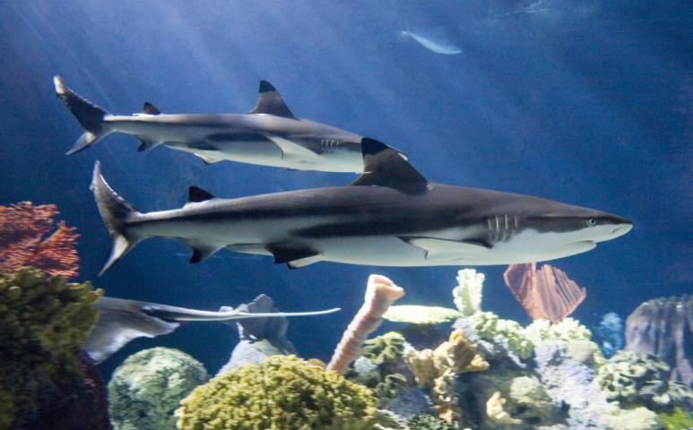 Funkcionálisan kihaltak a cápák a korallzátonyoknál