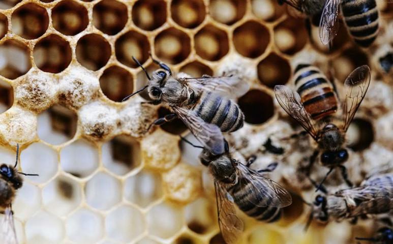 Bécs a méhek számára is tökéletes környezetet teremt