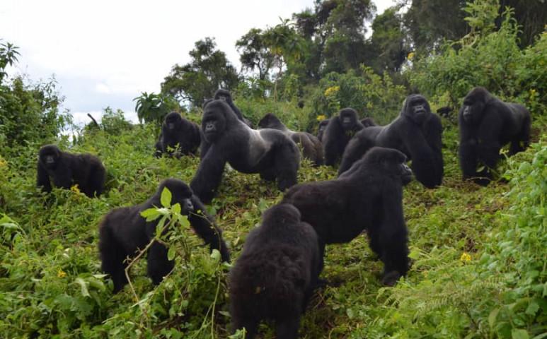 Sikeres a küzdelem: egyre több a hegyi gorilla