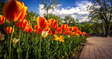 Tulipánsor