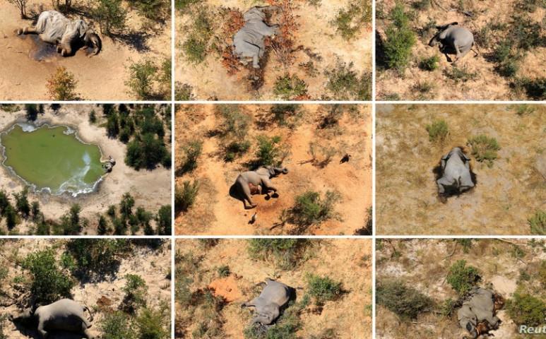 AZ elefántok tömeges pusztulásában is a klímaváltozás, így tulajdonképpen mi vagyunk a ludasak...