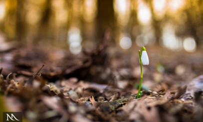 A tavasz hírnöke