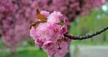 Rózsaszín szirmokkal támad a tavasz