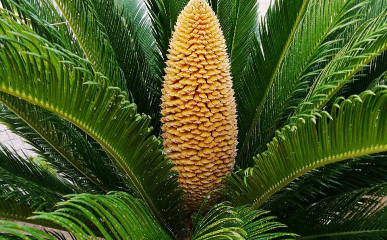 Virágzik a szabadban nevelt cikász pálma - ez is a klímaváltozáshoz köthető...