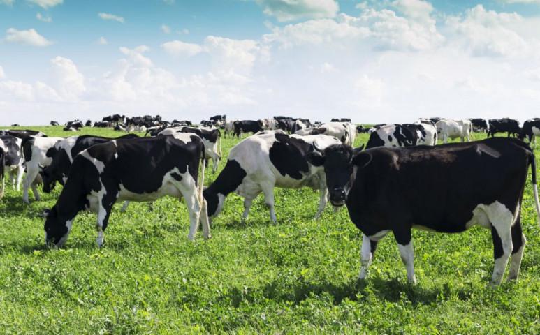 Túl sok gondot okoznak a tehenek Hollandiában - az állam közbelép