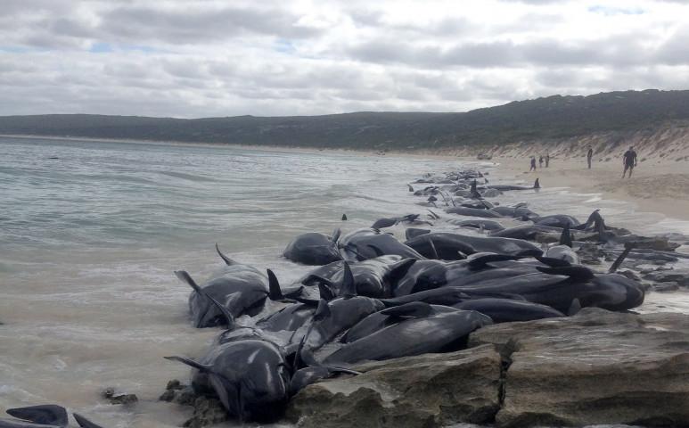 90 delfin lett öngyilkos Új-Zéland partjainál