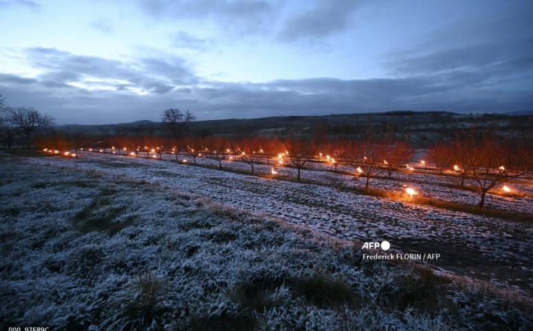 A fagyok a francia szőlők túlnyomó többségét elpusztították