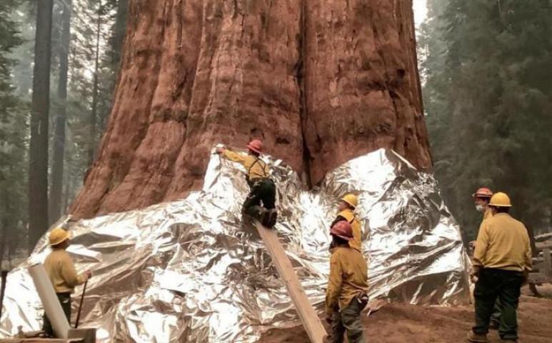 Alumínium takaróval igyekeznek megvédeni a mamutfenyőket a pusztító tűztől