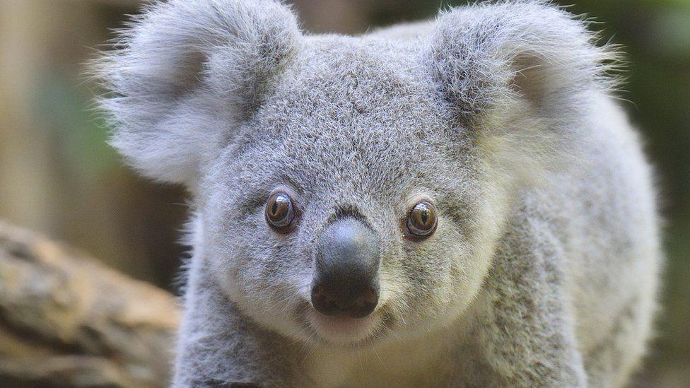 32 ezer egyed - ennyi koala maradt a világon