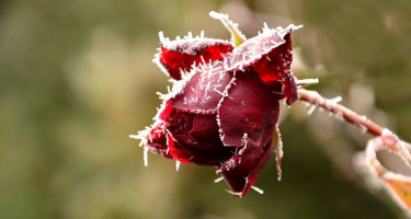 Jégbe zárt rózsa
